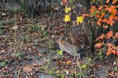 Lebre selvagem pulando na floresta — Fotografia Stock