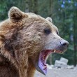 Brown bear with open mouth portrait — Stock Photo #73695213