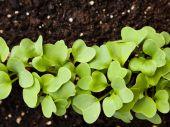 Garden radish sprouts — Stock Photo