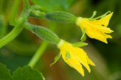 The blossoming cucumbers — Stock Photo