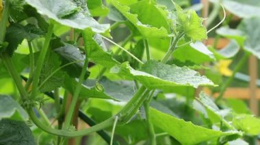The cucumbers blossoming on a seedbed — Stockvideo
