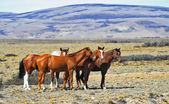 Herd of wild mustangs — Foto de Stock