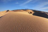 Dromedary on sand dunes — Stock Photo