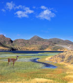 Guanaco stands over blue lake — Stock Photo