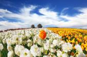 Blossoming buttercups field — Stock Photo