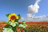 Sunflower grows in field — Stock Photo