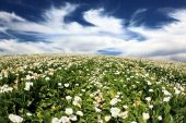 Calla lilies blooming  — Stockfoto