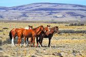 The herd of mustangs — Stock Photo
