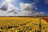 The field of bright yellow ranunculus — Stock Photo
