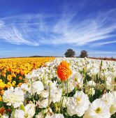 Huge kibbutz field of multi-colored buttercups — Stock Photo