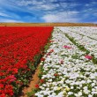 Field with flowers — Stock Photo #54791481