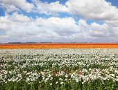 Fields of peony — Stock Photo