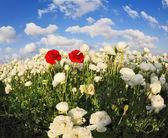 White garden buttercups — Stock Photo