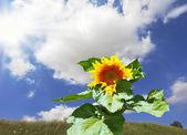 Huge sunflower — Stock Photo