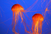 Two red-orange jellyfish — Stock Photo