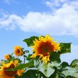 Sunflowers and cloudy sky — Stock Photo #57307075