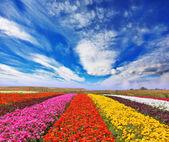 Garden buttercups field — Stock Photo