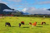 Orange and black cow grazing  — Stock Photo