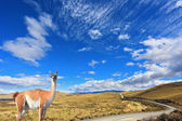 The trusting guanaco -  small camel — Stock Photo