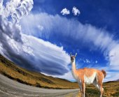 The trusting Lama -  small camel — Stock Photo