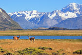 In the foreground are grazing guanaco — Stock Photo