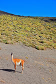 The guanaco -  small camel — Stock Photo