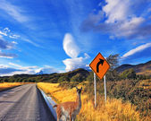 Guanaco on road in Argentina — Stock Photo
