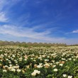 Big picturesque field of white flowers — Stock Photo #68934357
