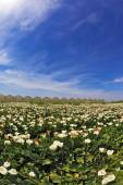 Big picturesque field of white flowers — 图库照片