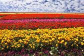 Field of multi-colored buttercups — Stock Photo