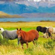 Gray, brown and black horses grazing in a meadow — Stock Photo #71405785