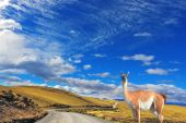 Gravel road between the mountains and guanaco — Foto Stock