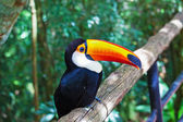 Toco toucan in zoo  — Fotografia Stock
