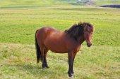 Farmer sleek bay horse — Stock Photo