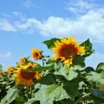 Sunflower field on sky — Stock Photo #77635287