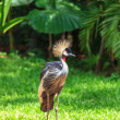 Magnificent Crowned Crane — Stockfoto #78193082