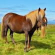 Farmer  horse with  of the fjord — Stock Photo #78685824