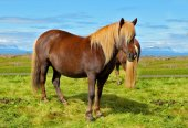 Farmer  horse with  of the fjord — Stock Photo