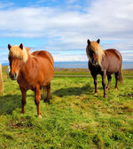 Horses with yellow  manes — Stock Photo