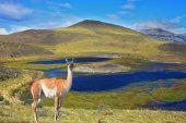 The charming guanaco on the shore — Stock Photo