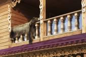 Bearskin on the balcony. — Stockfoto