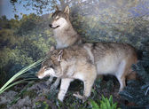 Stuffed two wolves. — Stock Photo