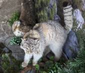 Stuffed snow leopard. — Stockfoto