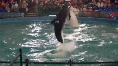 Bottlenose dolphin and beluga jump out of the water. — Stock Video