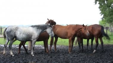 Horses nod their heads in unison (saved from annoying insects). — Stock Video
