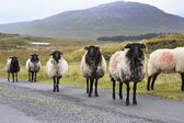 Herd of white sheep with black head on the road. — Stock Photo