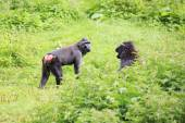 Sulawesi crested macaques swear. — Stock Photo