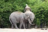 Asian elephant. — Stock Photo