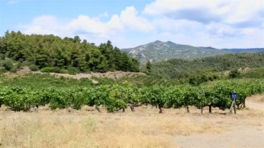 Vineyards on the slopes. Sithonia peninsula. Northern Greece. — Stock Video
