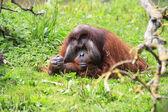 Male Bornean orangutan — Stok fotoğraf